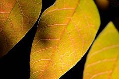 Leafy Macro (LauraJSwindle) Tags: botanical trees nature plants foliage macrophotogarphy 85mm macro veins leaf branches wantagh ny usa fall autumn earth