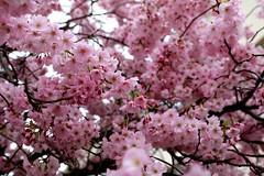 Arbre en fleurs (manongongora) Tags: spring cherry fleurs cerisier fleursdecerisier printemps arbre flore en roses rose flowers pink tree