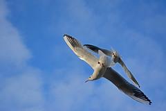 Rivalry (Caulker) Tags: gulls flight sky aberford park november 2017