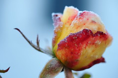 Last rose before winter (jennichristine801) Tags: last rose winter frozen frosty letzte gelb yellow rot red blue sky