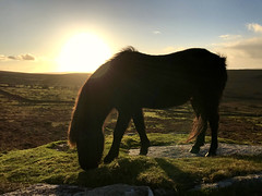 Keep on moving, keep on moving on, rise and ramble the land where you belong. (LauraMacbeath) Tags: horse horses pony ponies lauramacbeath photography devon dartmoor uk england gb unitedkingdom greatbritain dartmoorpony dartmoorponies sunset sunsets sun sky skyscape skies skyline autumn novemer skylines skyscapes dusk winter mane moor hooves grass grasslands green sunny sunlight iphone iphone7 silhouette silhouettes sideshot animal adorable animals animalphotography amazing atmospheric foal outline outdoors outdoor cloud clouds cloudy close up closeup countryscape countryside country colour contrast scenic scenery scene escape landscape nature