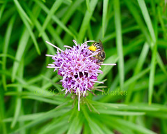 Bee On Purple Liatris (Elise Creations & Passions) Tags: beeonpurpleliatris brightyellowpollenonthebeesknees beepollinatingpurpleliatris photobyelisemarks elisecreationspassionsphotography elisemarksphotography vermontnaturephotography flora canon outdoors landscape plant foliage greenleaves greenfoliage burlingtonvermont summer2017 summerflowers flowers anthers sepals calyx stamenspistils purpleliatris flowerphotography flower flowerbuds flowerscloseup purpleflower purpleflowers purplepetals purpleflowerswithyellowcenters greenstems plants garden vermontflowerphotography insect macro bee pollen yellowpollen honeybee