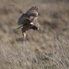 Short-eared Owl (featherweight2009) Tags: shortearedowl asioflammeus owls raptors birdsofprey birds