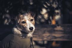 Winter Cozy (moaan) Tags: lomographyzenitpetzval85mmf22 kobe hyogo japan jp dog jackrussellterrier kinoko portrait dogportrait sunlight wintersunlight outdoor sunbathing dof depthoffield bokeh bokehwhores canoneos5dsr 85mm f22 utata 2017