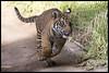 Rakan (KRIV Photos) Tags: dc sandiego sandiegozoosafaripark sumatrantiger tiger animal