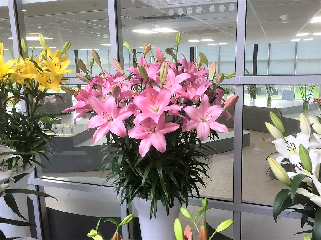 25 new lily varieties the world needs more of check out our photo dont izmirmasajfo