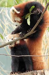 red panda Blijdorp BB2A5882 (j.a.kok) Tags: panda redpanda rodepanda kleinepanda animal blijdorp china asia azie mammal zoogdier dier blijdorpzoo