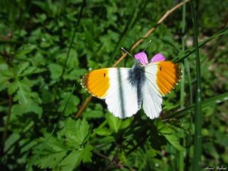Butterfly 1517
