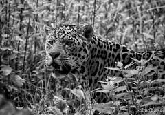 Jaguar in mono. (ronalddavey80) Tags: black white mono jaguar canon eos70d 70300mm big cat