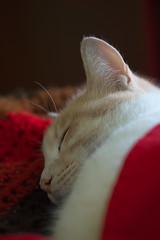 Santa Floki is asleep