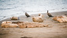 hw1-1845 (vashnic) Tags: california coast northerncalifornia marine monterrey beach tidepools tides bigsur mosslanding elkhornslough marinewildlife cabrillohighway highway1 harborseal family phocavitulina