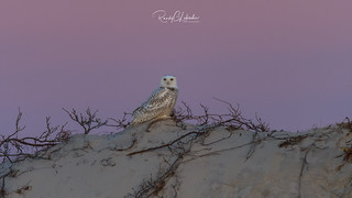 Snowy Owls of New Jersey | 2017 - 12