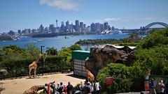✪シドニー動物園の絶景ポイント (m-miki) Tags: シドニー オーストラリア 動物園 キリン 動物 sydney australia zoo giraffe animal シドニー湾 オペラハウス 海岸 絶景 harbor opera house coast great view