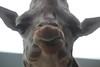 IMG_2635 (neatnessdotcom) Tags: new york city nyc bronx zoo tamron 18270mm f3563 di ii vc pzd canon eos rebel t2i 550d