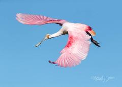 Roseate against Blue Sky, wings spread (MyKeyC) Tags: roseate spoonbill flight flying bird blue pink sky ajaiaajaja florida peacefulwaters birds sanctuary mikestern