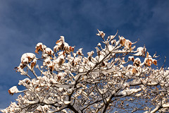 First Snow (MikeWeinhold) Tags: snow trees branches leaves sky blueskies 6d 1740mm winter