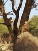 Baboon Alfa Male in Ruaha National Park (micheledibitetto) Tags: baboon alfa male tanzania tree monkey animal ruaha national park brown