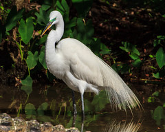 Great Egret in Breeding Colors (Rich[FL]) Tags: gatorland birds orlando breeding nature greategret usa fl animals wildlife