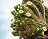 Saguaro Fantasy (John C. House) Tags: everydaymiracles nik blooms nikon desert flowers americansouthwest johnchouse cactus arizona saguaro phoenix phoenixbotanicalgarden d700