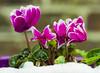 Flowers in the snow. (ost_jean) Tags: cyclamen nikon d5200 tamron sp 90mm f28 di vc usd macro 11 f004n ostjean flowers bloemen fleurs