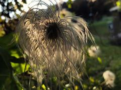 """Clematis... again"" (helmet13) Tags: iphone8 flora clematisvitalba autumn fall selectivefocus bokeh sunlight heartawards peaceawards world100f"