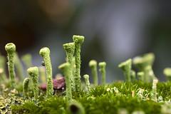 Makrowelt (densenato) Tags: macro moos pilz nature natur herbst nikond7200 nikkor nikon d7200 green grün autumn november 2017 outdoor 40mm apsc makro micro mikro