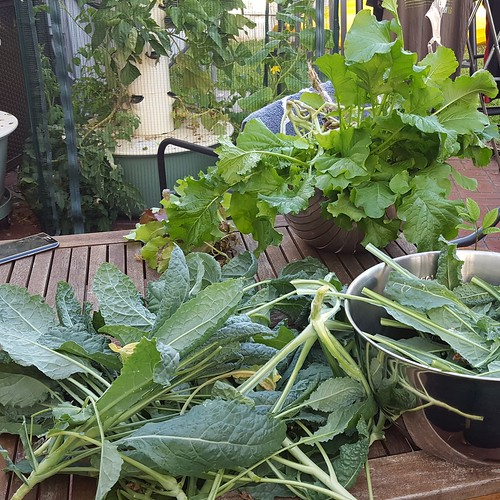 Harvest time! I'm replanting a bunch of Tower Garden plants.