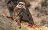 alice river - a jackass #2 (a kooka glare) (Fat Burns ☮ (on/off)) Tags: laughingkookaburra dacelonovaeguineae australianicon bird australianbird fauna australianfauna nikond500 nature kookaburra sigma150600mmf563dgoshsmsports aliceriver barcaldine queensland australia