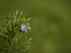 Petite véronique **---+ (Titole) Tags: fleur wildflower véronique titole nicolefaton shallowdof green 15challengeswinner thechallengefactory