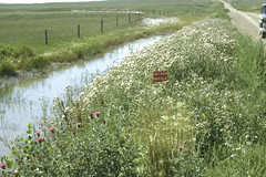 Weeds29.tif (NRCS Montana) Tags: weeds noxious thistle canadathistle irrigation ditches water