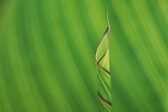 Enroulement (Patrice StG) Tags: québec bokeh vintagelens vintage sony gimp macro a6000 pentaxm50mm14 soft softness douceur doux feuille leaf vert green
