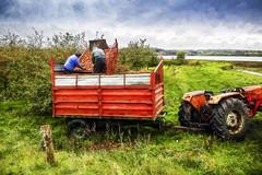 Récolte (Briren22) Tags: campagne récolte pommes rance vert rouge verger nature travail
