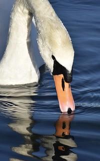 Swan Reflection #1