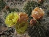old man pricklypear, Opuntia polyacantha var. erinacea (Jim Morefield) Tags: inyocounty california unitedstates cactaceae cactus succulent cactusfamily opuntia opuntiapolyacantha opuntiapolyacanthavarerinacea angiosperm dicot plant flowers flower blossom bloom wfgna flora wildflower wildflowers cnpsok oldmanpricklypear shrub shrubs pinyonjuniper june northamerica whitemountains blackmountain greatbasin inyonationalforest eswild solstice spring summer spines olympus evolt e510 olympuse510 jdm20161901 taxonomy:family=cactaceae taxonomy:genus=opuntia taxonomy:binomial=opuntiapolyacantha taxonomy:common=oldmanpricklypear taxonomy:trinomial=opuntiapolyacanthaerinacea geo:alt=2423m yellow orange manypetals