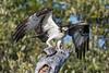 Osprey (PeterBrannon) Tags: bird birdofprey fish florida nature osprey ospreycatchingfish pandionhaliaetus raptor sunset wildlife