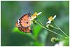 樺斑蝶    Danaus chrysippus (Alice 2017) Tags: 2017 hongkong bokeh white green butterfly canon canoneos7d eos7d nature canonef70200mmf4lisusm plant autumn flower couple insect favorites50