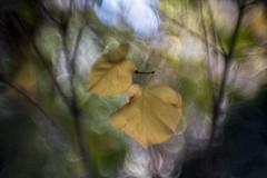 _DSC6717 (kymarto) Tags: bokeh bokehlicious bokehphotography dof depthoffield nature naturephotography beauty beautiful sony sonyphotography sonya7r2 oldlens vintagelens dallmeyeroctac foliage autumn autumnleaves