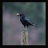 KUSA-69713 (Weinstöckle) Tags: rabenkrähe vogel rabenvogel walnuss flug regen