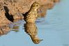 Look at me twice :-) - Olha para mim duas vezes :-) (Yako36) Tags: portugal peniche ave bird birdwatching nature natureza nikon200500 nikond7000