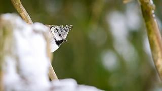 Crested tit, Tofsmes (Parus cristatus)
