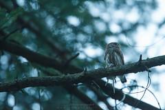 EG170430_64266 (Eric Gangloff) Tags: aves birds chevêchettedeurope eurasianpygmyowl glaucidiumpasserinum oiseaux strigidae strigidés strigiformes