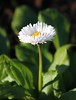 Morning light (ekaterina alexander) Tags: morning light daisy bellis perennis white yellow autumn flower ekaterina alexander england sussex nature photography pictures flowers