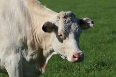 Peaceful  White (excellentzebu1050) Tags: dairycows livestock cow cattle closeup farm field outdoor animalportraits animal coth5 sunrays5