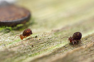 Two globular springtails on a fence