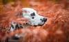 Pongo ❤ (stphanielegay) Tags: pongo dalmatian mydog dogphotography nikond7200 nikon 50mmf18d autumn