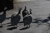 Canon270219 (godrudy6661) Tags: neworleans audubonzoo audubonpark darktable guineafowl