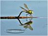 libellule miroir (arno18☮) Tags: dragonfly libellule couleur bleu nature rivière lac genève suisse nikon artofimages insecte