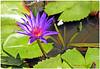 nymphéa © Bali (philippedaniele) Tags: nénuphar nymphéa bali