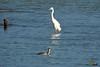 A-LUR_2052 (OrNeSsInA) Tags: trasimeno uccelli bird natura italia umbria castiglionedellago ornessina lucarosi nikon tamron byrd lago chiusi siena perugia aironi cormorani