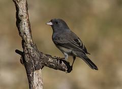 Dark-eyed Junco (AllHarts) Tags: darkeyedjunco backyardbirds memphistn naturescarousel naturesspirit thesunshinegroup ngc sunrays5 inexplore